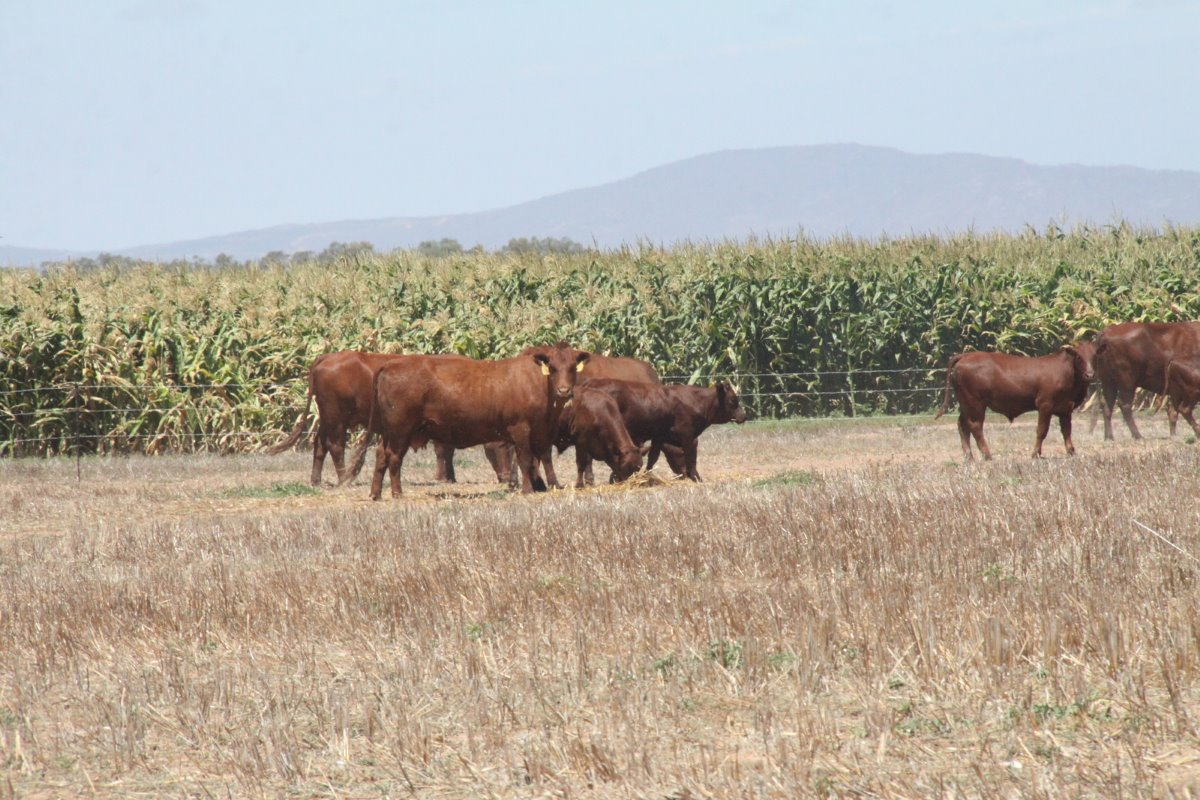 Uilenkraal produces maize for silage under centre pivot irrigation on 40 hectares. The Bonsmara beef cattle in the foreground are kept from the maize fields with electric fencing that uses solar power.