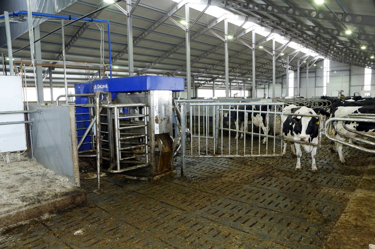The cows that are in their colostrum period and the antibiotic treated animals are housed in groups of maximum 20 cows. They are milked in the VMS-milking robot.