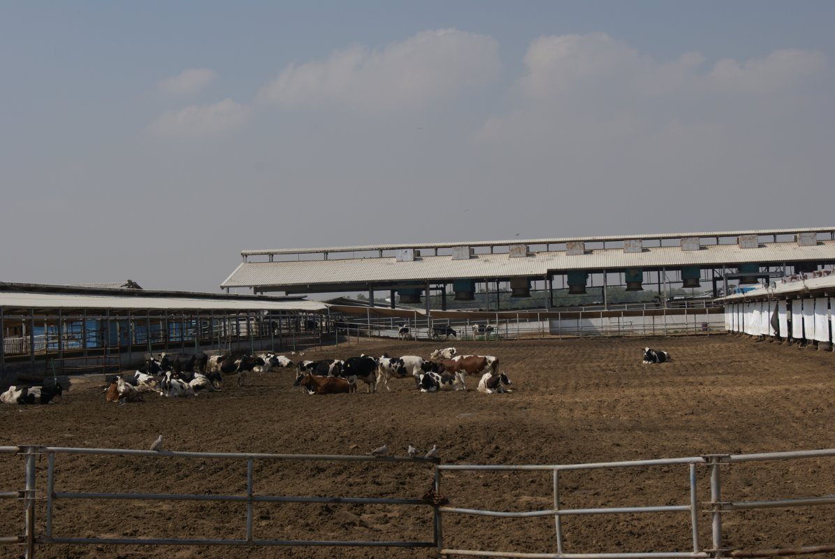 In 1989 the farm started with 500 cows, which were imported from Germany, but has now grown to a whopping 12,500 cows.