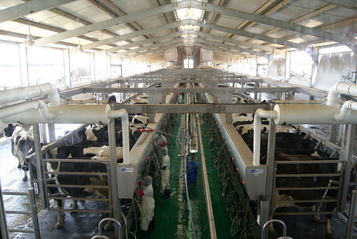 The cows are milked three times a day. The milking equipment in the three milking parlours (parallel milking parlour double 45) are supplied by Farm Service, a company in the Netherlands and dealer of US milk equipment company Boumatic.