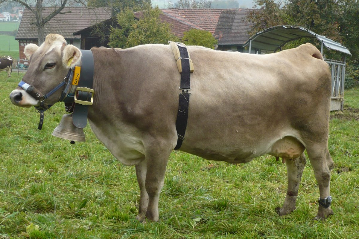 Cow bells and their effect on cow behaviour