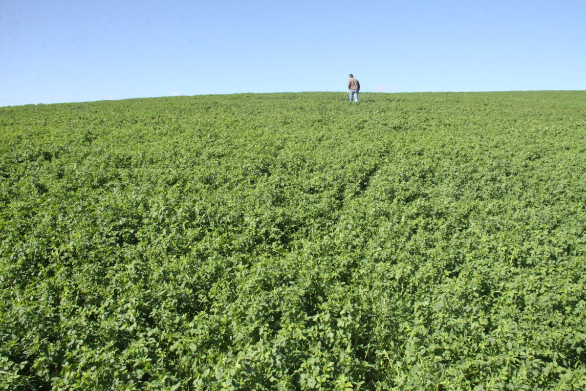De Kock Cloete produces lucerne under centre pivot irrigation on 54ha for his dairy cows and sheep. After five or six years he rotates lucerne with teff and an oats-ryegrass mixture respectively for a period of two years before he plants lucerne again.