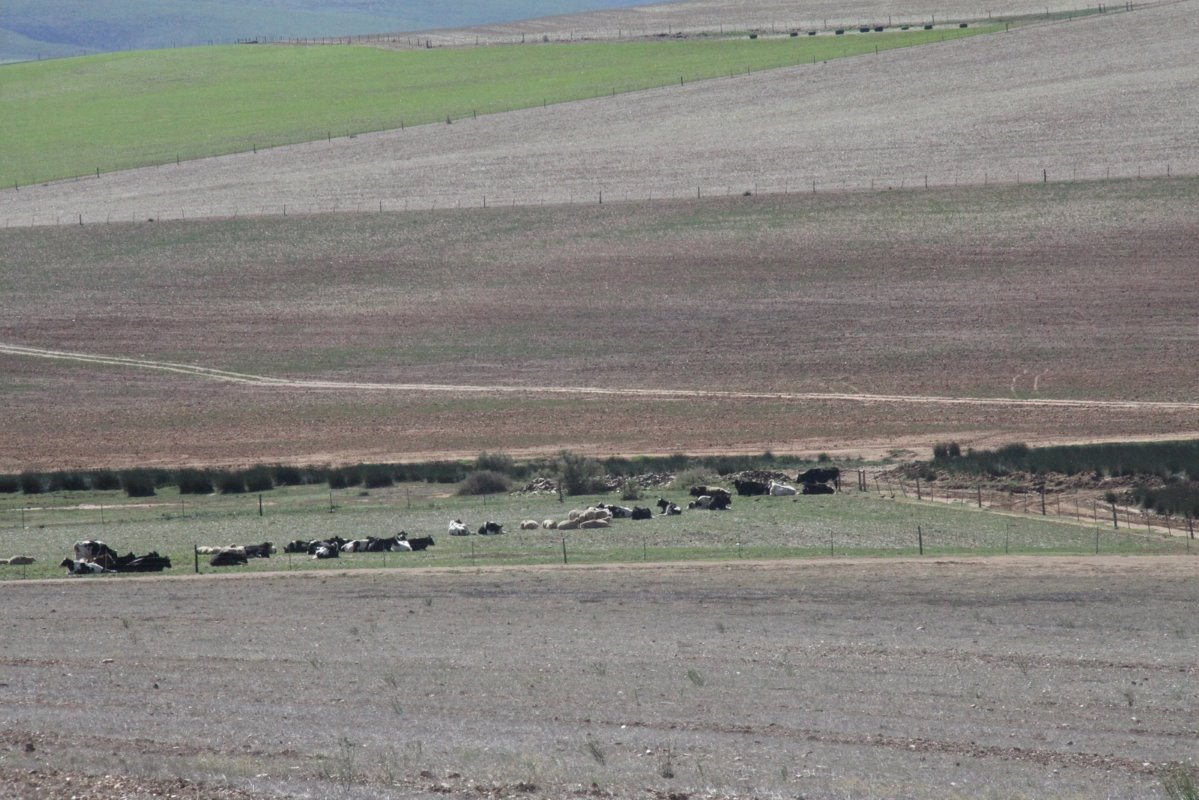 Dry cows on old crop fields. De Kock Cloete's land has a long-term average rainfall of 525mm/annum. This photo was taken in autumn before the start of the winter rainfall season.