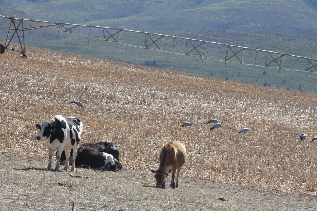 Dry dairy cows on a stubble field after maize has been harvested with blue cranes, South Africa's national bird. Although blue cranes abound in this crop-producing area farmers receive no government subsidies for creating a habitat for the birds.