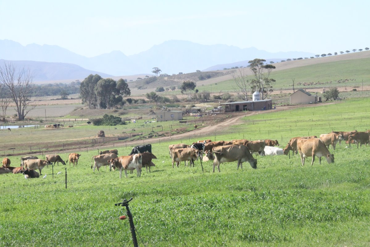 Since 2008 irrigating pastures in South Africa has become increasingly expensive due to an electricity shortage and a backlog to upgrade the country's generating capacity. Loch Lotus is balancing costs by using a total mixed ration (TMR) system, a semi-TMR system and irrigated pastures.