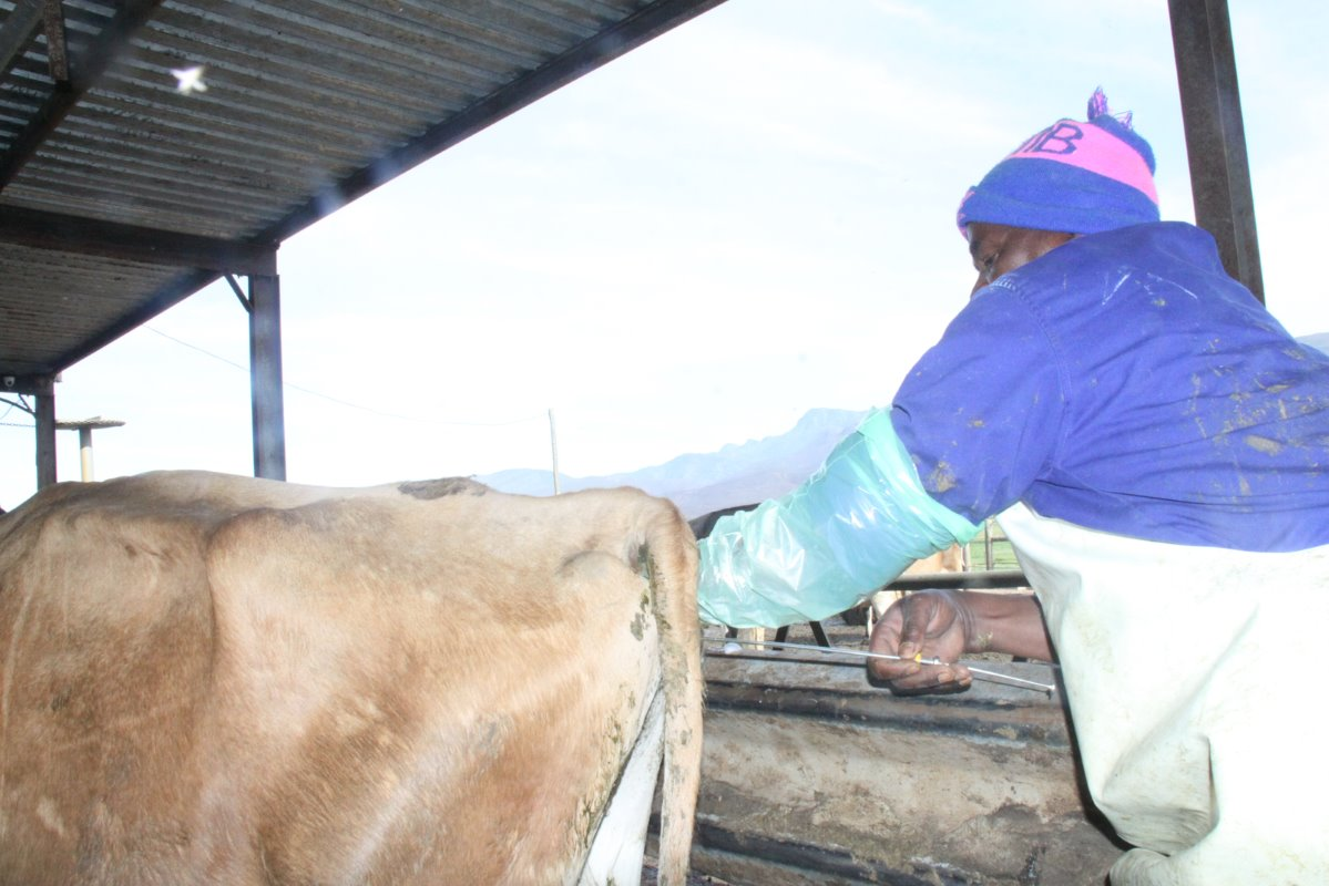 A worker busy doing artificial insemination on a Jersey cow. One of De Kock Cloete's best decisions was to continue using tested and proven semen for AI in his herd when the South African milk industry was almost on its knees a few years ago due to price fluctuations.