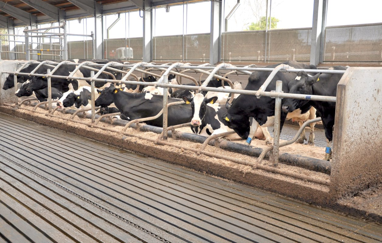 All cubicles are in single rows with no walls to block vision. The brisket board is a plastic pipe that can be moved to suit different sizes of cows.