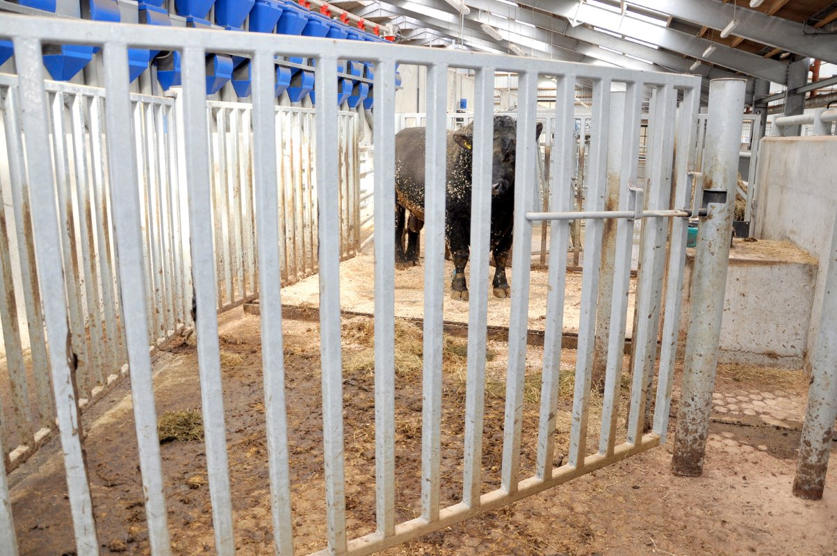 Bull pen access is controlled by two gates following a semi-circle path. No human should ever be in contact with the bull even when moving him or cleaning out his pen.