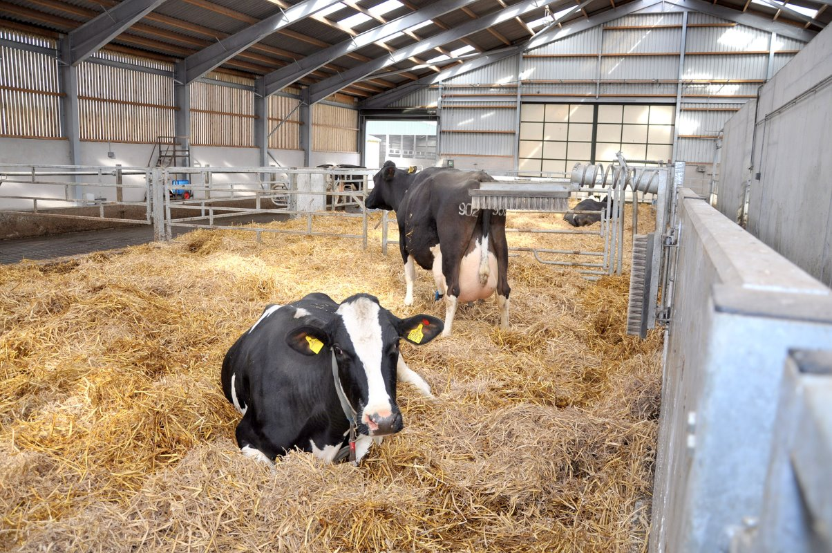 Cow comfort is at the highest level in the calving areas with a good layer of straw and plenty of room in the maternity ward.