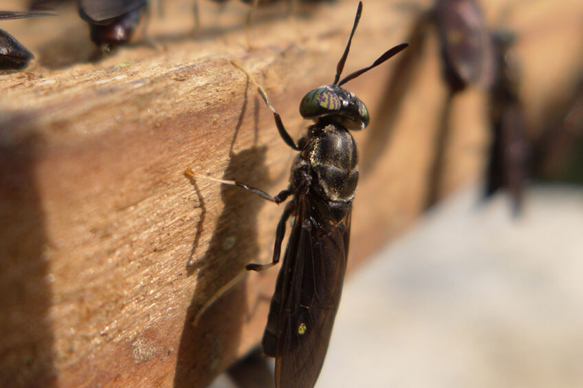 Black soldier fly meal can positively influence the microbiota in the large and small intestine. Photo: Shutterstock