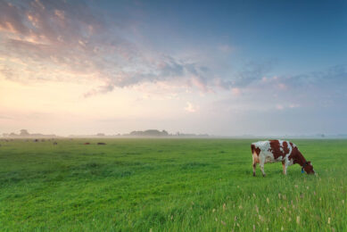 DSM has developed a feed additive, called Bovaer, which effectively and consistently reduces methane emissions from cows by over 30%. Photo: Shutterstock