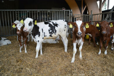 All heifer calves are retained to join the main herd at Kyla Sipila farm.