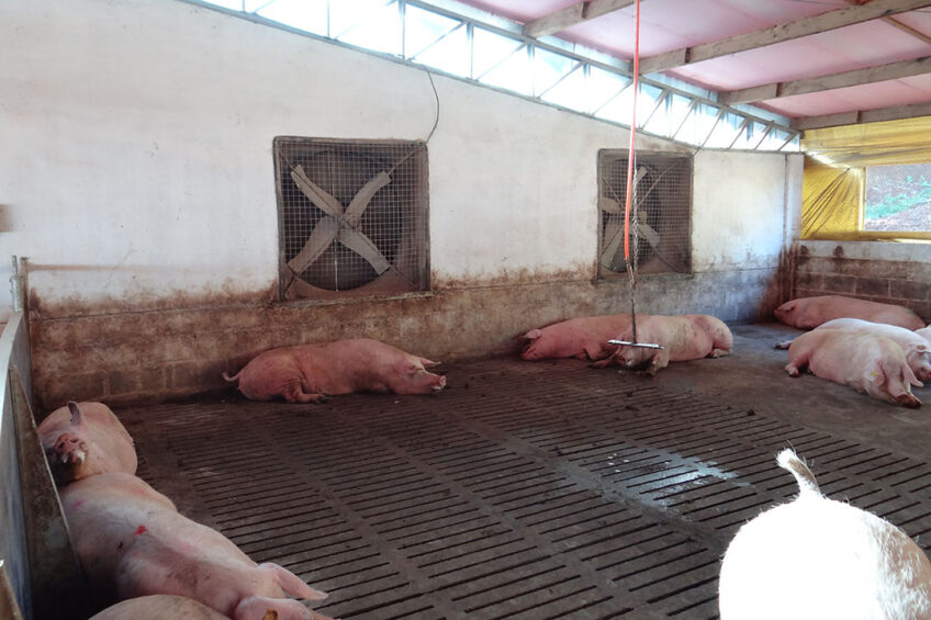 Forced ventilation is a strategy very used by farmers inside newer sheds in order to face high temperatures all over the country. Photo: Daniel Azevedo