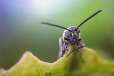 Black soldier fly larvae are utilised in feed production.. - Photo: Shutterstock