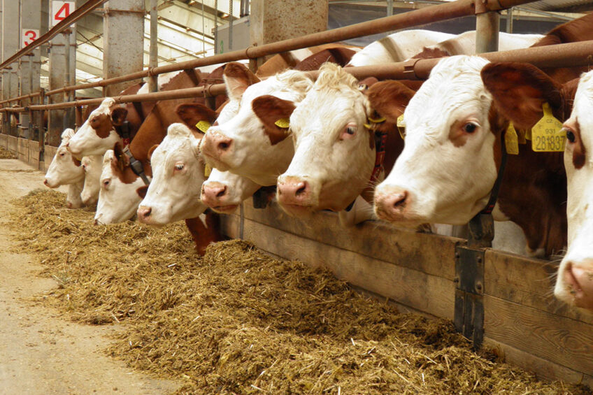 Dairy cows are more susceptible to heat stress than other livestock species due to their high metabolic heat production and their low surface area to mass ratio.