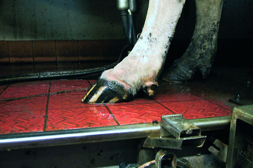 It's important to check if there is swelling and redness at the coronary band of the hoof, which is a result of infection. Photo: Roodbont