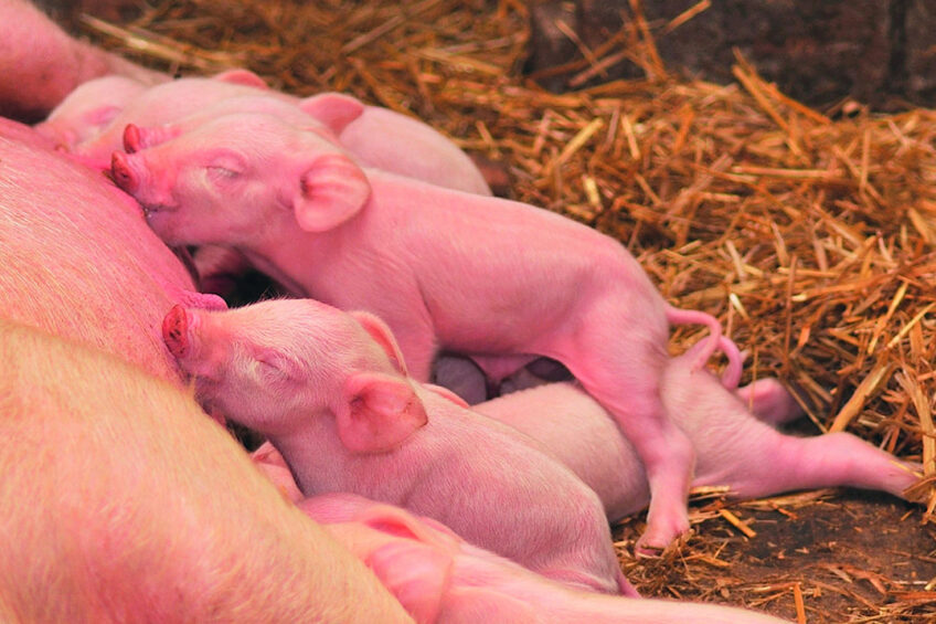 One of the main targets for farmers is to ensure that piglets will eat properly after weaning. Photo: Wisium
