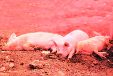 There are many parameters to determine the impact of heat stress. For example feed and water intake, panting score and feed conversion rate (FCR). Photo: Phytobiotics