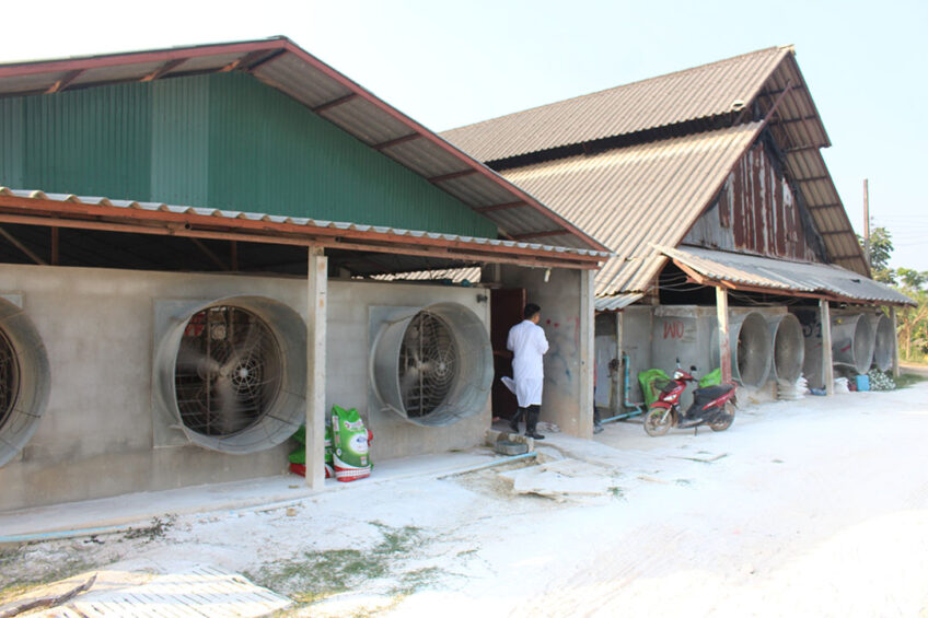 How effective are pig cooling techniques? Photo: Vincent ter Beek