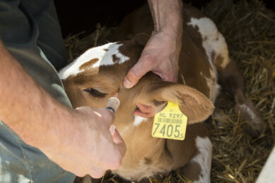 More analgesics with routine calf procedures. Photo: Koos Groenewold
