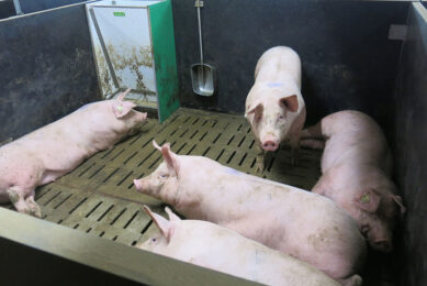 The aim should be to reduce the thermoregulatory effort for pigs, so that they can recover quickly after heat stress. Photo: IFIP