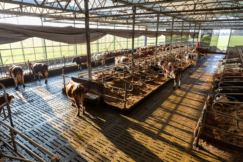 In the barn, built in 2008, the cows at the farm are pampered with good ventilation and natural light. Photos: Ernie Buts