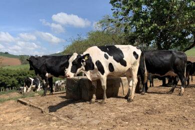 Dairy cattle in Minas Gerias, Brazil. Photo: Daniel Azevedo