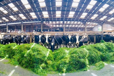 Cows are fed zero grazed grass from April to October. Photo: Chris McCullough