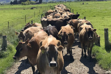 The Ramsays are milking 140 Jersey cows in New Zealand. Photo: Chris McCullough