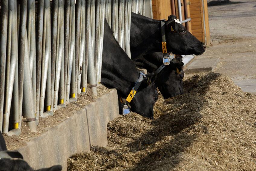 Avoiding milk fat drop during heat stress Photo: Henk Riswick