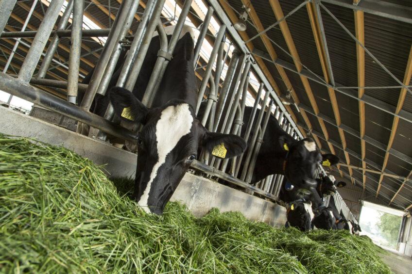 Taking cow feeding to the next level. Photo: Wick Natzijl