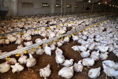 Importance of gut health in poultry. Photo: Impextraco