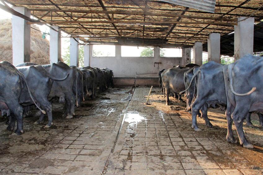 Indian dairy: Big, but still traditional. Photos: Martijn Knuivers