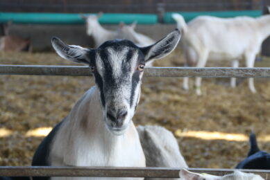 Naturally cheese can be made from goat s milk and many consumers are attracted to it as it is much lower in energy than dairy cheese. Photo: Stuart Lumb