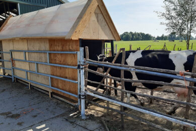 Cows enter the fly trap at the Verhoef dairy farm. Photo: Teus verhoeff