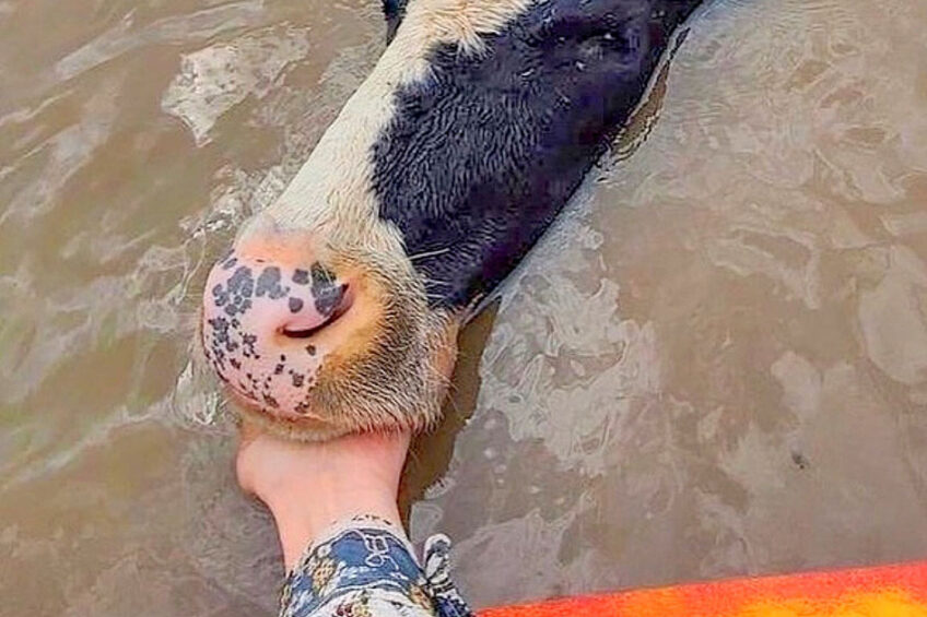 A kayaker tries to lead a cow to safety. Photo: Oscar Watson-Sutherland