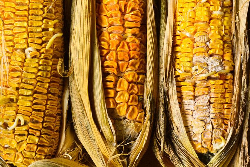 Effect of mycotoxins on gut development. Photo: Sayan Puangkham