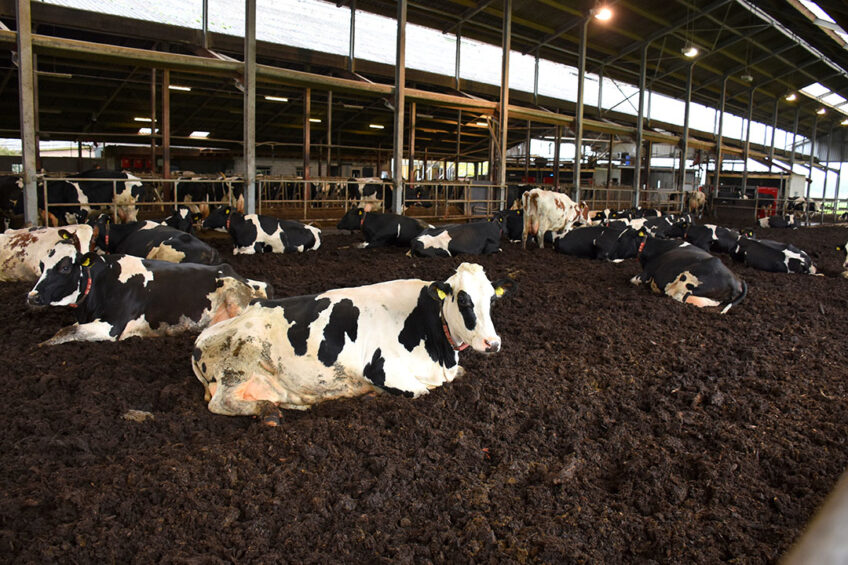 Fresh calved cows and older cows are kept in the pen bedded with woodchips. Photo: Chris McCullough