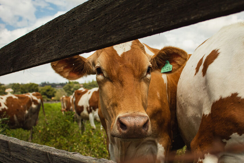 A challenge facing the organic dairy sector lies in making sure the supply of organic milk is in line with demand. Photo: Madeline Bowen