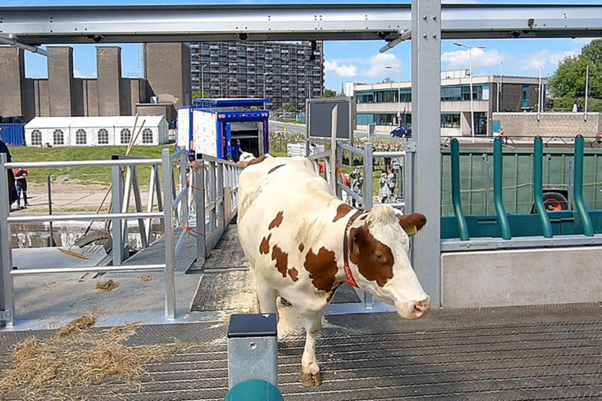 Cows enter world s first floating farm. Photo: Chris McCullough