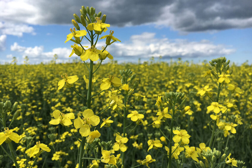 Use of canola meal as a high-protein ingredient has increased in many countries. Photo: Canola Council of Canada