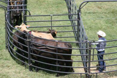 Using livestock scales to measure animal performance