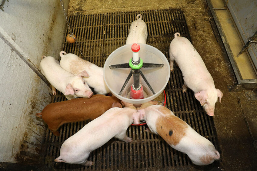 The newly weaned piglets have a feeder in the pen to offer the animals dry food in addition to liquid feed. Photo: Henk Riswick