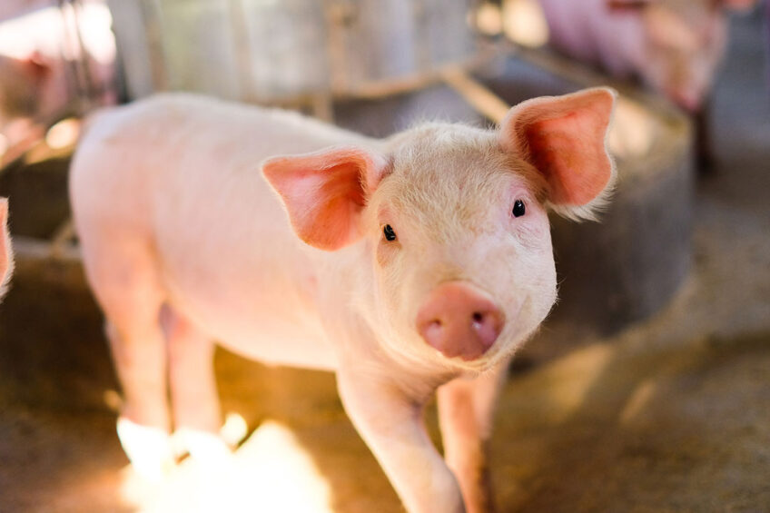 Weaning is one the most stressful event in a piglets life. A holistic approach is essential to weaning successfully. Photo: Chadino