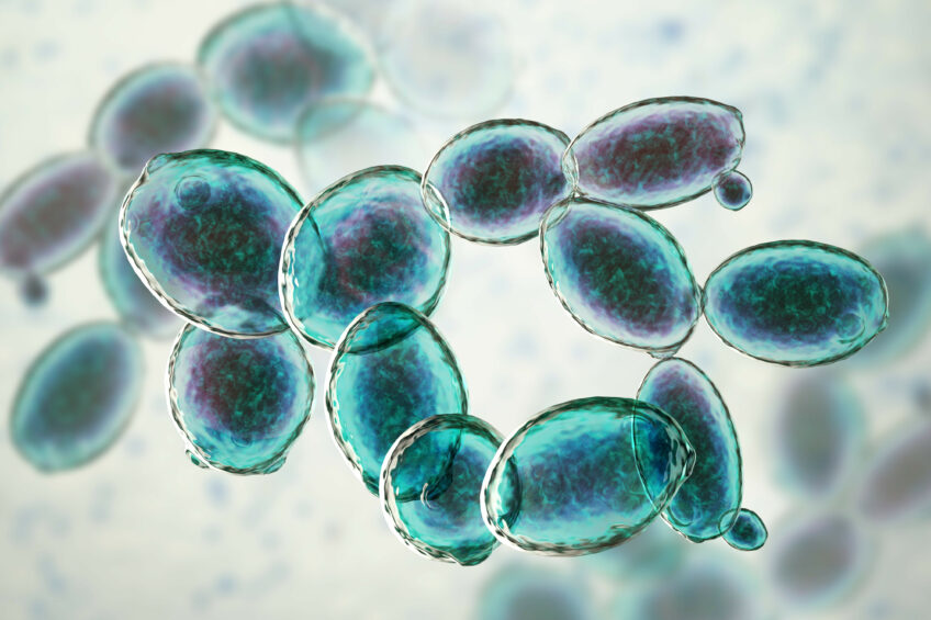 Yeast cultures based on Saccharomyces cerevisiae have a positive influence on animal performance, milk production and digestibility. Photo: Shutterstock