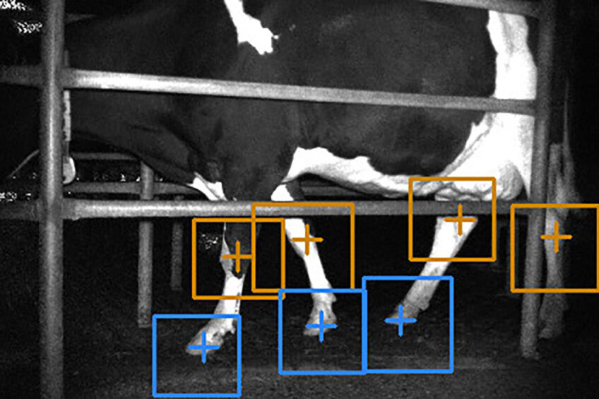 A computer image with the detection of carpal/tarsal joints in orange and hooves in blue. Photo: John Gardenier