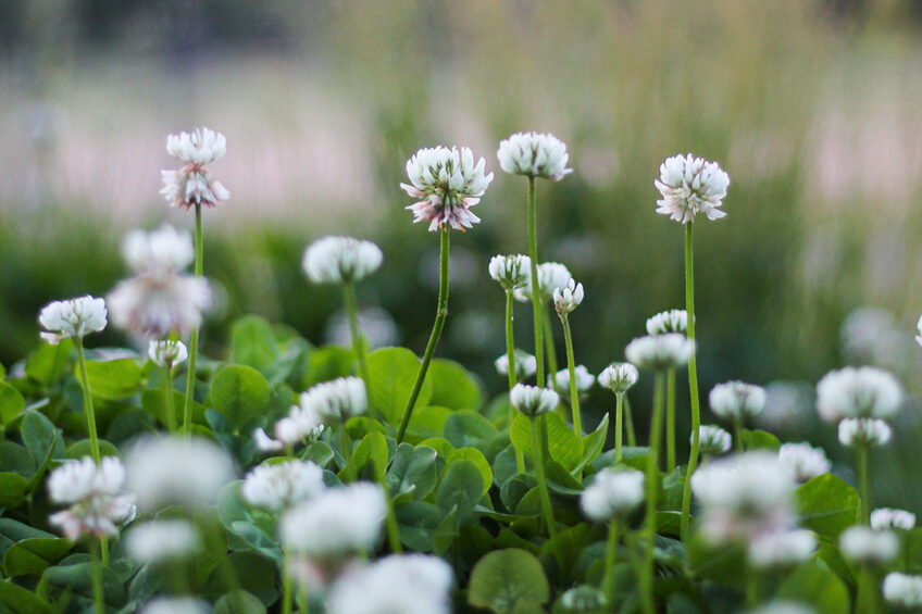 Even after severe droughts, white clover has the capacity to reappear from seeds on the ground. Photo: Joseph Vary