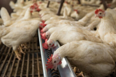 Gut health in poultry: A holistic approach. Photo: Peter J.E. Roek