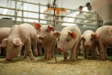 Microbiome modulation: The benefits for swine. Photo: Mark Pasveer