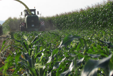 Raising maize whole plant cutting height allows getting a better nutritive value for the harvested forage. Photo: Arvalis
